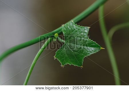 Close up of Young Leaves of Ivy Gourd popular ingredients which often use for home cooked meal Health benefit for antioxidant and widely used as a medicinal herb in asian country selective focused.