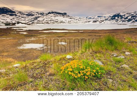 Yellow Spring Flowers In Norwegian Mountains