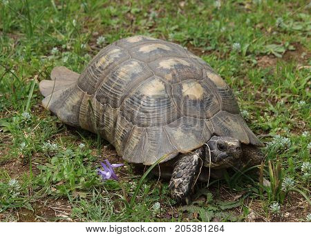 Turtle this species by their appearance can be confused with Mediterranean tortoises. The main difference is the small size of the shell is about 15-20 cm carapace light brown with dark spots. The younger the turtle, the brighter its color. Another aspect