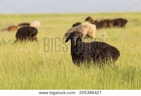sheep in the pasture . In the park in nature