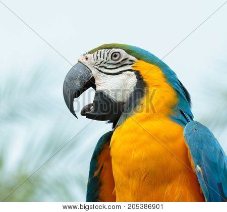The Blue-and-yellow Macaw or Blue and gold Macaw.
