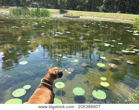 Dog Stands At The Edge Of A Pond With Lily Pads