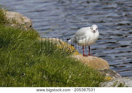 Tallaght Gull Bird