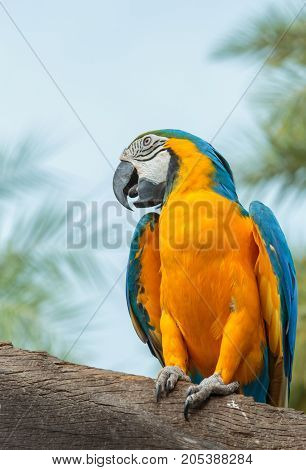 The Blue-and-yellow Macaw (Ara ararauna) also known as the Blue-and-gold Macaw is a member of the group of large Neotropical parrots known as macaws.