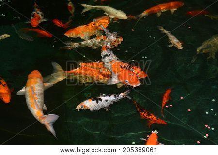 fancy carp fish koi fishes Koi fish in the pond