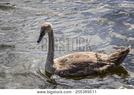Single Brown Swan Duckling