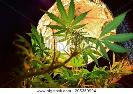Growing marijuana and cannabis under artificial lighting