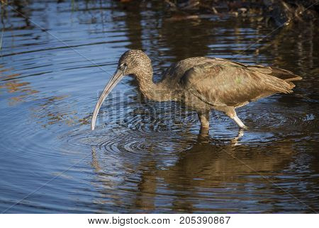 A Glossy Ibis (Plegadis falcinellus) searches for an afternoon snack in the shallow waters of a mangrove swamp.