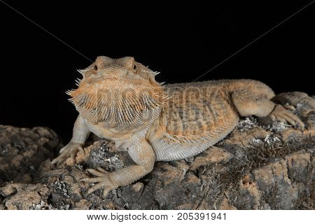 Close up portrait of a bearded dragon looking forward and staring at the camera on a black background