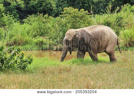 Wild Asian elephant is escaping into the forest. Wild elephant at Kui Buri National Park, Thailand.Wild Asian elephant is escaping into the forest.