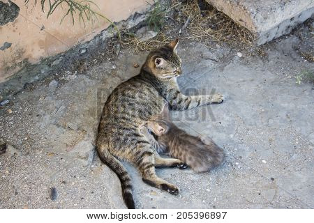 Kitten eating milk from mother cat morning afternoon