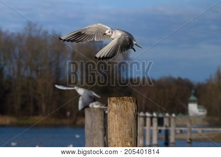 Close-up a beautiful flying Seagull in front of a Forest. View on a flying Seabird with outspread Wings. Gulls at the Lake.   Nature and Wildlife Background