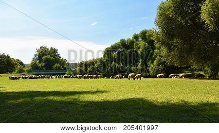Herd of sheep on grazing. Animals in nature.