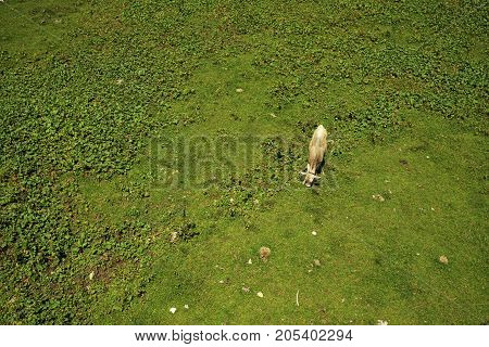 Cow in the Tyrolean Alps, photographed in bird's eye view