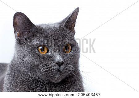 sits a British gray shorthair cat, domestic, feline, fur