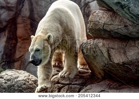 Asheboro North Carolina USA - September 20 2017: Polar bear (Ursus maritimus) climbing on rocks at the North Carolina Zoo.