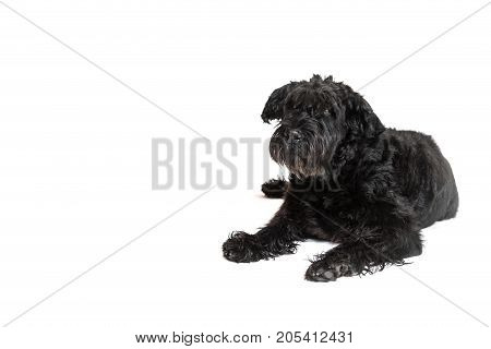 Giant Black Schnauzer Dog is lying on the white background