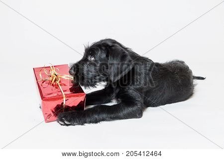 Cute puppy of Giant Black Schnauzer Dog is playing with a Christmas gift in a red box