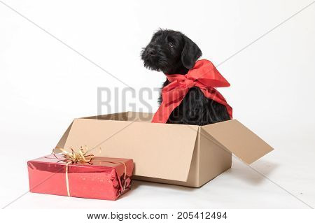 Sad cute puppy of Giant Black Schnauzer Dog is sitting in the paper box with a ribbon around his neck. Christmas gift in a red box is lying in the front of him.