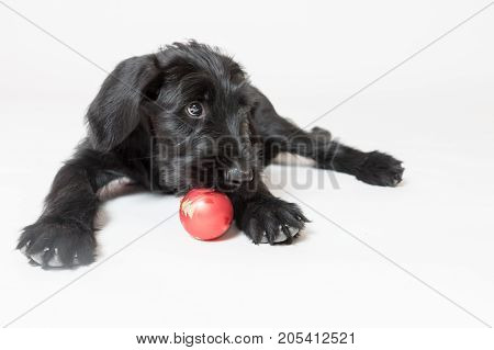Studio shot of a cute puppy of a Giant Black Schnauzer Dog is plying with a Christmas decoration.