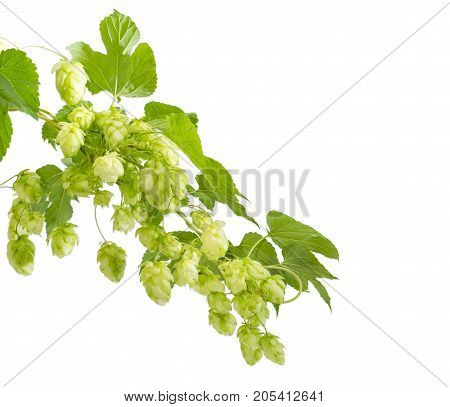 Intertwined branches of hops with seed cones and leaves on a white background