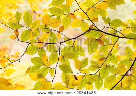 botany, season, countryside concept. leaves of so called english walnut tree are half green and half yellow, and they lets in autumn light of sun, that is why all detail are visible