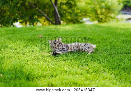 Cat playing with a mouse he just caught. Gray cat lying on green grass. Cat caught a mouse.