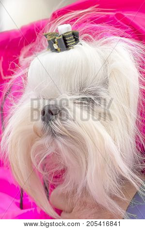 Head of a small white dog with a black bow. Space under the text. 2018 year of the dog in the eastern calendar Concept: parodist dogs, dog friend of man, true friends, rescuers.