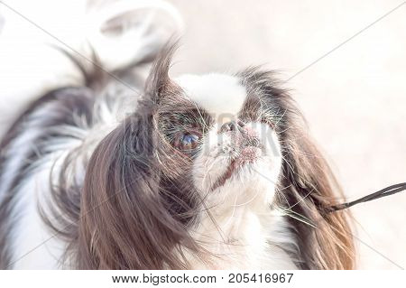 Cavalier king charles spaniel. Space under the text. 2018 year of the dog in the eastern calendar Concept: parodist dogs, dog friend of man, true friends, rescuers.