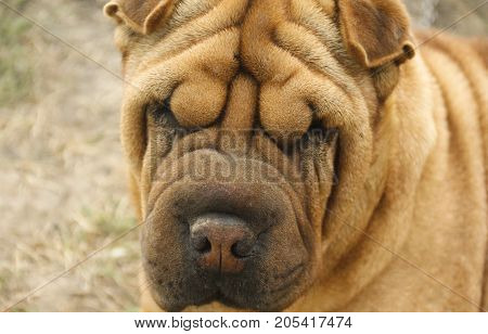 shar pei the dog head, sleep, funny, one