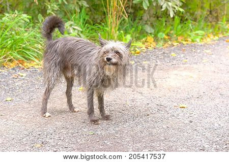 Shaggy, tattered Chinese Crested dog stands on the road. The dog is small, active, elegant, very cheerful and has a strong attachment to its owner. Close-up. Concept: cute, home, friend, love, affection, kindness, care. Space under the text. 2018 year of