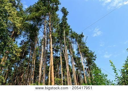 Pine forest and grassland on a sunny day