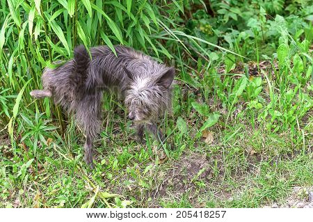 Chinese Crested small dog sprinkles on the grass. The dog is small, active, elegant, very cheerful and has a strong attachment to its owner. Close-up. Concept: cute, home, friend, love, affection, kindness, care. Space under the text. 2018 year of the dog