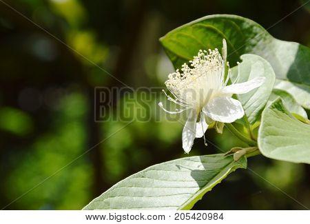 guava flower blooming on branch in garden