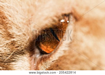 Eyes red cat. macro . In the park in nature
