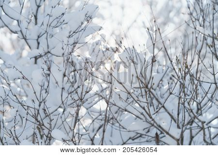 bush branches covered with snow in morning, shallow focus