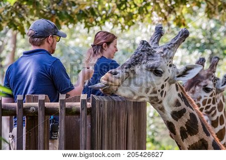 Asheboro North Carolina USA - September 20 2017: North Carolina Zoo staff feed the giraffe (Giraffa) on the Acacia Station Giraffe Deck at the North Carolina Zoo.