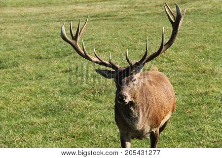 An Adult Red Deer Stag Animal with Antlers.