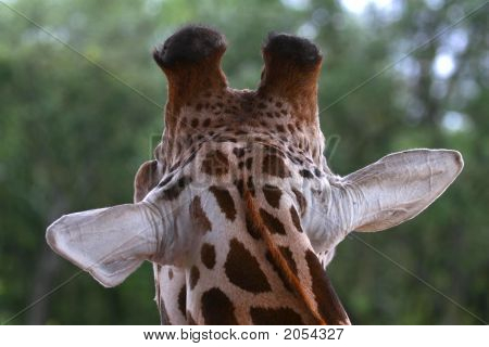 picture of the back head of giraffe poster