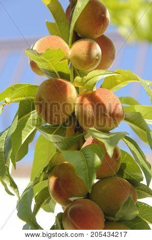 The branch of the peach tree with fruits at the sunlight