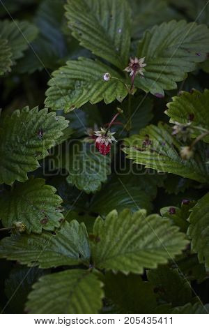lonely strawberry Fragaria fruit and green leaves in dark