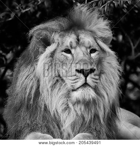 Beautiful Portrait Of Asiatic Lion Panthera Leo Persica In Black And White
