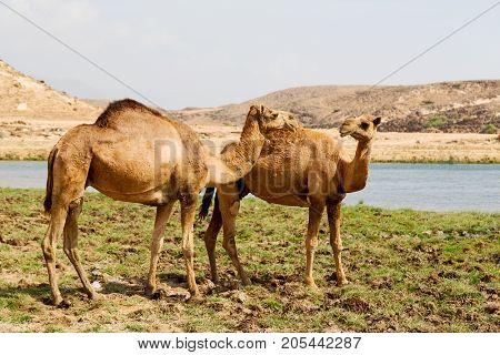 In Oman Camel  Empty Quarter Of Desert A Free Dromedary Near The  Sea