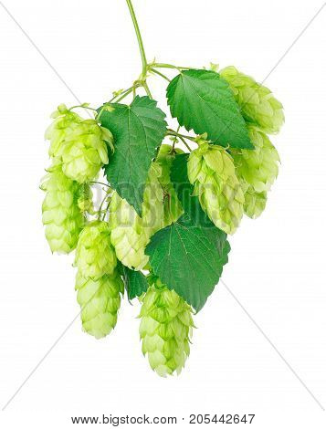 Branch of fresh green hops cones isolated on white background with clipping path. Hop cones for beer. Ingredient for brewing