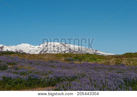 nootka lupine in the Icelandic nature on island of Hrisey