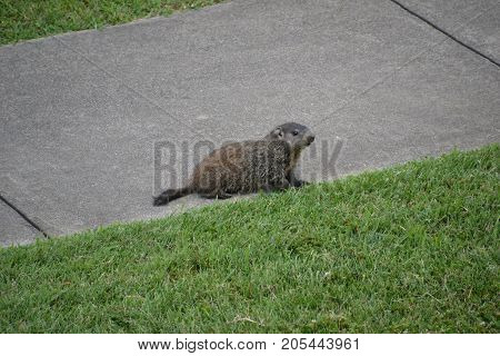 a beaver running around the city on a cloudy day
