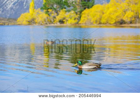 The Pacific black ducks or grey ducks at Lake Pearson (Moana Rua) in Autumn with reflection Arthur's pass National Park South Island of New Zealand