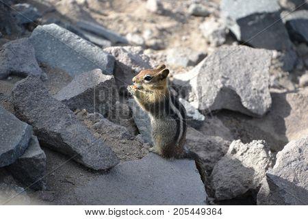 adorable golden mantled ground squirrel in crater lake national park, oregon