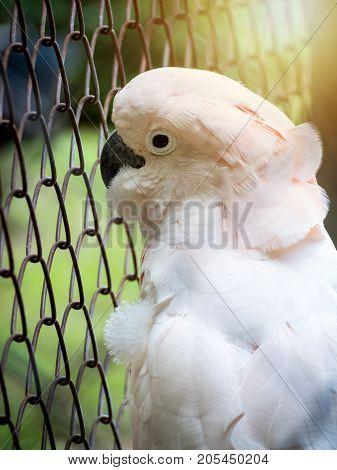 Close-up image of unhappy Cockatoo (Cacatua Vieillot) bird