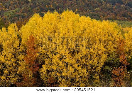 poetic autumn, environment, cycle of life concept. tree canopy is all covered small leaves of sunny yellow colour that is why it looks like fire in the mantelpiece